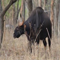 gaur_bison